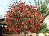 PlenTree Callistemon citrinus | Limone Bottlebrush cremisi | 20_Seeds