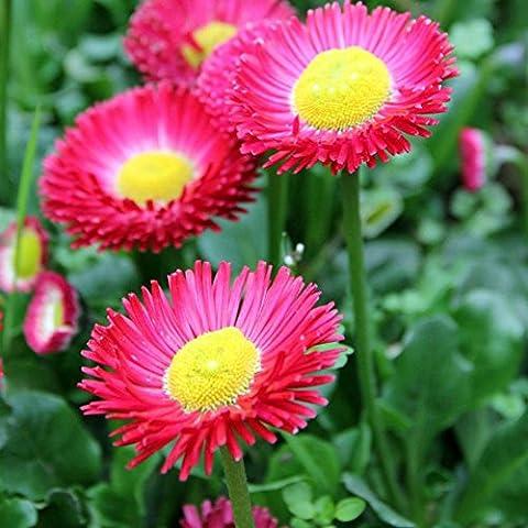ESHOO 200 Stück Shasta Daisy Samen offene Pollinierte Samen für Hausgarten