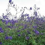 Eisenhut ( Aconitum henryi