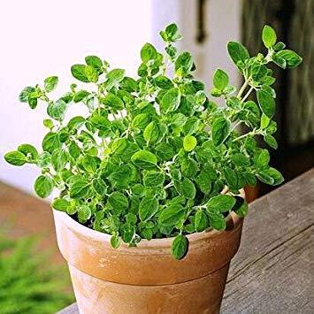 tasso di germinazione 99% semi maggiorana, cucina erbe sementi di ortaggi - 20 particelle