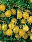 Obst Stachelbeere