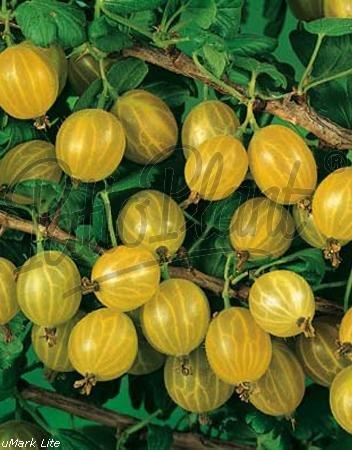 Obst (Ribes uva-crispa) Stachelbeere