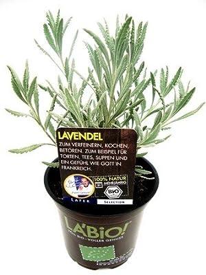 Bio Lavendel Kräuterpflanze von LÀBiO! Kräuter - Du und dein Garten