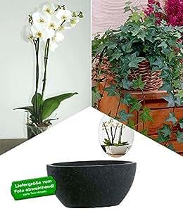 """BALDUR-Garten Phalaenopsis-Orchidee""""Weiß"""", Efeu & XXS Schale COEVORDEN""""schwarz"""",1 Set"""