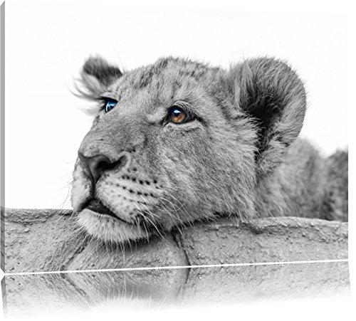 jeune lion dort noir / blanc sur toile, énorme XXL photos complètement encadrée avec civière, impression d'art sur ??la photo murale avec cadre, moins cher que la peinture ou une peinture à l'huile, pas une affiche ou une banniè