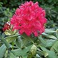 Rhododendron, 2 Liter rot/rosa, 3 Pflanzen von Amazon.de Pflanzenservice auf Du und dein Garten