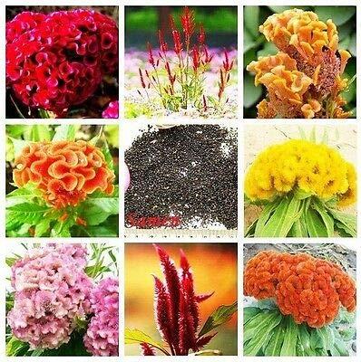 35x 8 Farben Hahnenkamm Mix Samen Pflanze Garten Blume #90