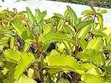 Kifayati Patharchatta Kidney stone Healthy Live Best Pot outdoor Plant