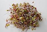 BIO Keimsprossen Radies China Rose 100 g Samen für die Sprossenzucht