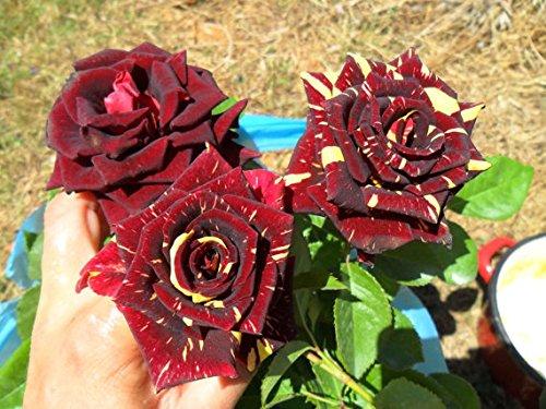 Pinkdose Rare * Abracadabra Rose * lunga durata rose magiche * 1 pianta fiorita in diretta
