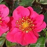 Zier-Erdbeere, Fragaria vesca 'Rubra'