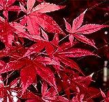 Bloom Green Co. 20PCS Japanische Rote Ahornbaum mit abgedichtetem PAKET * VERY BEAUTIFUL * JAPAN AHORN NEUE Hausgarten-Blumen-Bonsais