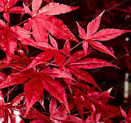 Bloom Green Co. 20PCS Japanische Rote Ahornbaum mit abgedichtetem PAKET * VERY BEAUTIFUL * JAPAN AHORN NEUE Hausgarten-Blumen-Bonsais -