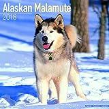 Kalender 2018 Alaskan Malamute mit kostenloser Meerschweinchen-Weihnachtskarte