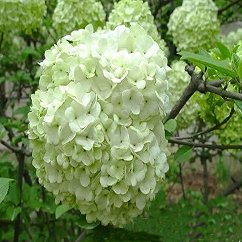 QHYDZ Samenhaus- Riesen Hortensien Saatgut 50 Samen, Hydrangea Macrophylla Samen Winterhart Mehrjährig Pflanzen, Bienenfreundlich Blumenzwiebeln, Garten Hof Bauernhof Zierpflanzen Samen (Weiß)