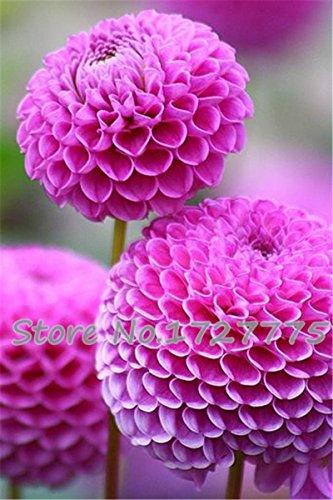 Zinnia elegans Scabiosa Color Mix Petite Fleur Zinnia environ 100 pcs graines pot bonsaï bricolage jardin maison fleur, culture facile jaune