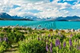 """Poster-Bild 120 x 80 cm: """"Beautiful incredibly blue lake Tekapo with blooming lupins on the shore and mountains, Southern Alps, on the other side. New Zea"""", Bild auf Poster"""