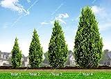 60pcs / bag Riesen Cypress Samen Außen Perennial Platycladus Orientalis Lebensbaum Bonsai Topfbaum Pflanze für Gartendeko