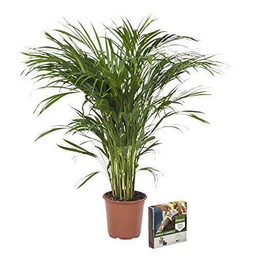 Palmen (Zimmerpflanzen) Kaufen | Echte-Pflanzen.de - Part 2