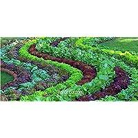 Nuevas semillas frescas 10 Unids/lote Semillas de lechuga italiana Buen sabor, Fácil de cultivar, Gran variedad de ensaladas, Diy Semillas caseras Hortalizas, 3Liae