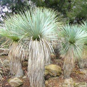 Yucca rostrata seeds