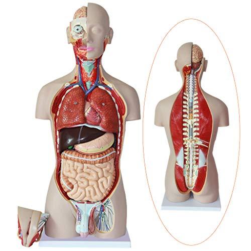 LUCKFY Anatomischer menschlicher Torso - 27 Teile - 85 cm - Amphoterer menschlicher Torsokörper Anatomiemodell mit offenem Rücken legt Muskelschichten frei - Medizinische Ausbildungshilfe (Squishy Menschlichen Körper)