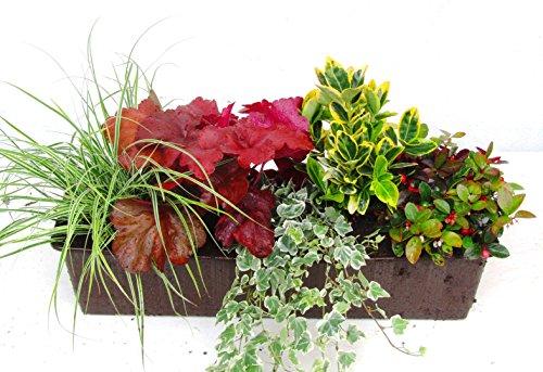 immergrünes Balkonpflanzen-Set für Balkonkästen ab 60 cm Länge 5 winterharte Pflanzen