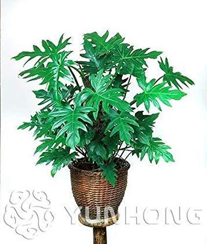Shoopy Star 2: 30 Pcs/Paquet Bouteille Palmier graines vivaces Easy Grow Bonsaï Pots Tropical