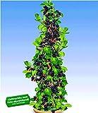 BALDUR-Garten Säulen-Brombeeren Navaho® 'Big&Early' dornenlos, 1 Pflanze Rubus fruticosa Säulenobst Beerenobst Brombeerpflanze