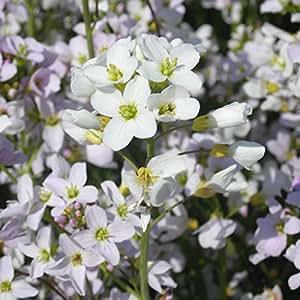 Blumixx Stauden Cardamine pratensis - Wiesen-Schaumkraut, im 0,5 Liter Topf, hell-violett blühend