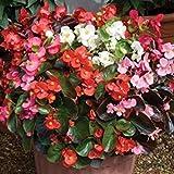 Zoomy Far: BEGONIA semperflorens Sementi di fiori misti (AVG 20-30) SEMI X 4 confezione