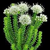 Agathosma apiculata - Buchu - 10 Samen