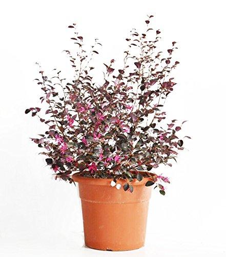 Pianta vera da esterno arbusto - loropetalum - siepe rosa giapponese esemplare Ø 30 cm - h 80 cm