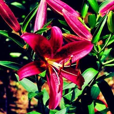 Bloom Green Co. ! Verkauf Specials Blue Heart Lily Pflanze flores Topf Bonsai Pflanze Seltene-Lilien-Blumen plantas Für Hausgarten 10 Partikel/Lot, RREY: 11