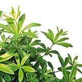 Bio Waldmeister Kräuterpflanze