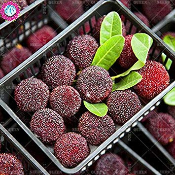 11.11 grande promotion! 10 pcs / lot géant graines baie rouge fraise fruit vert jardin semences d'arbres et la maison plante vivace d'herbes biologiques