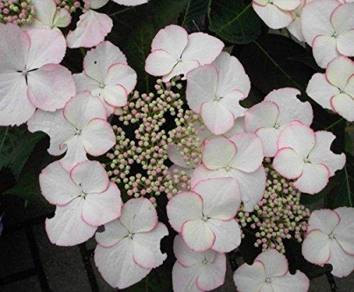 Bauernhortensie Love you Kiss - Tellerhortensie - Gartenhortensie - Hydrangea macrophylla Love you Kiss
