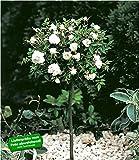 BALDUR-Garten Mini-Stammrose Weiß, 1 Pflanze Stammrose winterhart