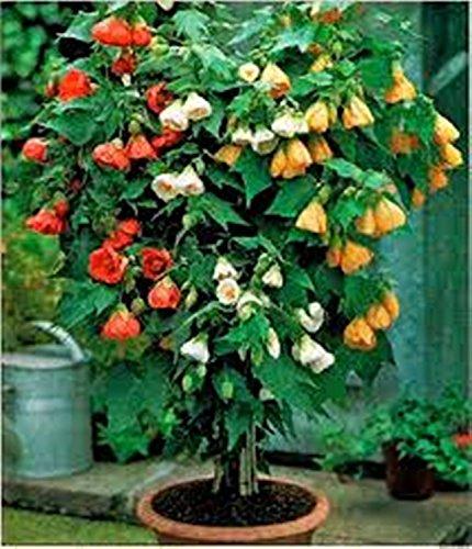 Blumensamen Chinesische Laterne Mix (Abutilon hybridum) Biennial