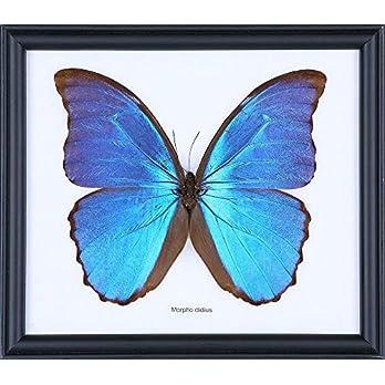 The Giant Blue Morpho Butterfly (Morpho menelaus) | Schmetterlinge Entomologie Taxidermie Innendekoration | 20 x 18 cm