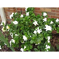 50 GARDENIA / CAPE JASMINE Jasminiodes White Shrub Flower Seeds