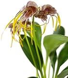 Masdevallia Ova-Avis - Spinnenorchidee - botanische Orchidee für das halbschattig Fenster - exotische Zimmerpflanze zur Bepflanzung im Terrarium verwendbar