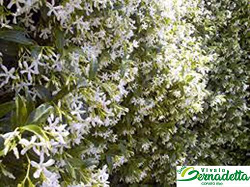 10 pz pianta piante rincosperum rincospermo rincospermum falso gelsomino