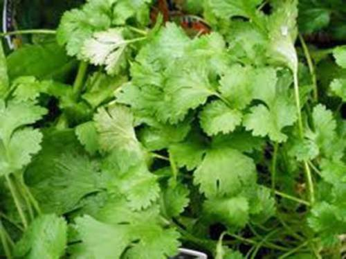 GRAINE DE CORIANDRE, LENT BOLT, HEIRLOOM, BIO 100 graines, NON OGM, GREAT HERBES/SPICE