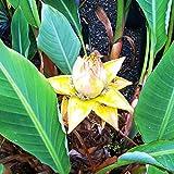 Future Exotics Winterharte Musella Lasiocarpa Banane für den Garten 65-70 cm