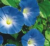SeeKay Ipomoea dreifarbig - Morning Glory - Himmel Blau - 4500 samen - Bulkware