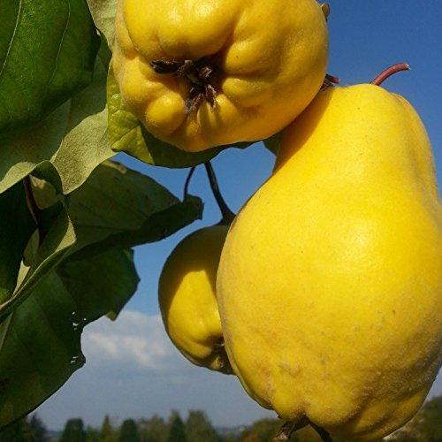 Grüner Garten Shop Bereczki Birnenquitte Halbstamm selbstfruchtbar 170-200 cm groß im 10 Liter Topf Unterlage Quitte A