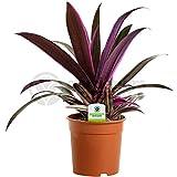 Best Mixed Indoor Plants - Tradescantia Sitara - 1 Plant - House / Review