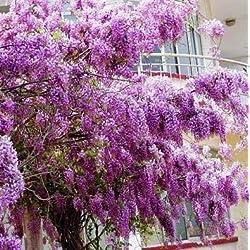 Fash Lady 10 stüCke Schöne Gartenpflanzen Glyzinie Blume Glyzinien Bonsai Blume DIY hausgarten # 2024: 2