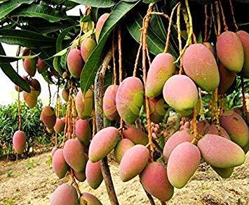 Vistaric 1 beutel = 2 stücke RIESEN MANGO BAUM samen seltene HERB exotische köstliche früchte samen mini eingemachte kirsche bonsai home & garden kostenloser versand